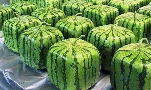 日本人的方形西瓜是怎么种出来的